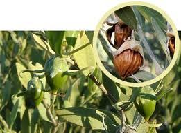 aceite de jojoba y la cosmética natural